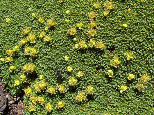 Azorella - A 3000 Years Old Plant