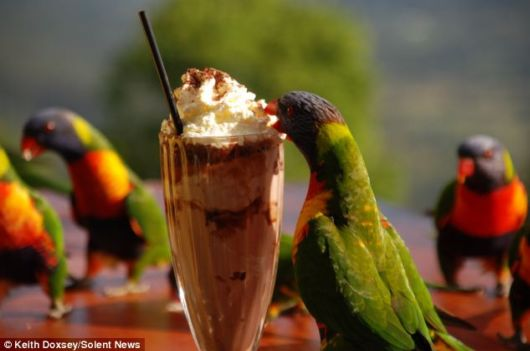 A Chocolate Milkshake For Parrots