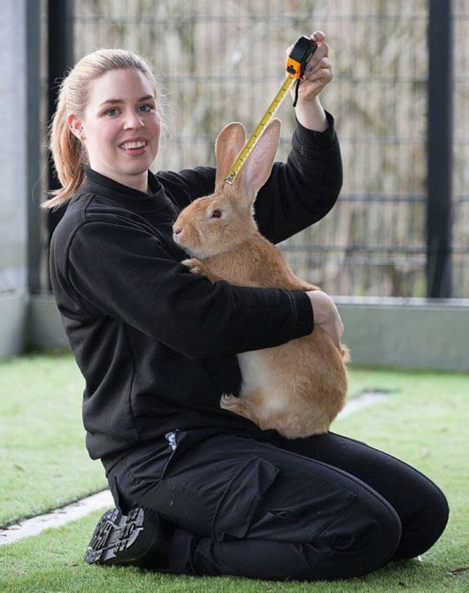 Cute Adorable Dog-Sized Rescue Rabbit Is Looking For A New Home