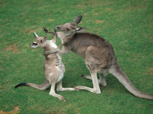 Beautiful Pictures Of Kangaroos