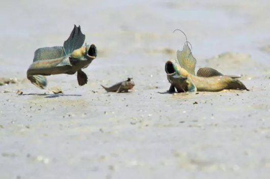The Mudskippers Breakdance For Territory